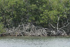 Realizan proyectos para proteger el ecosistema de manglar