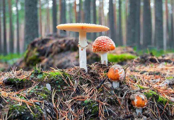 Los hongos juegan un papel muy importante en el ecosistema de la isla. (Polametría)