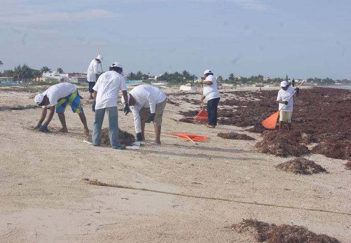 Entre 45 personas se realiza la limpieza del sargazo. (Manuel Pool/SIPSE)