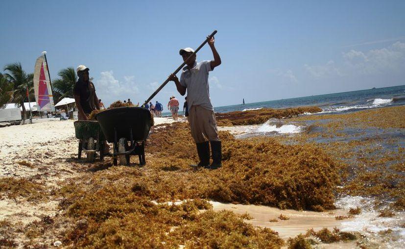 Van casi tres años de la llegada masiva del sargazo a las costas del estado. (Octavio Martínez/SIPSE)