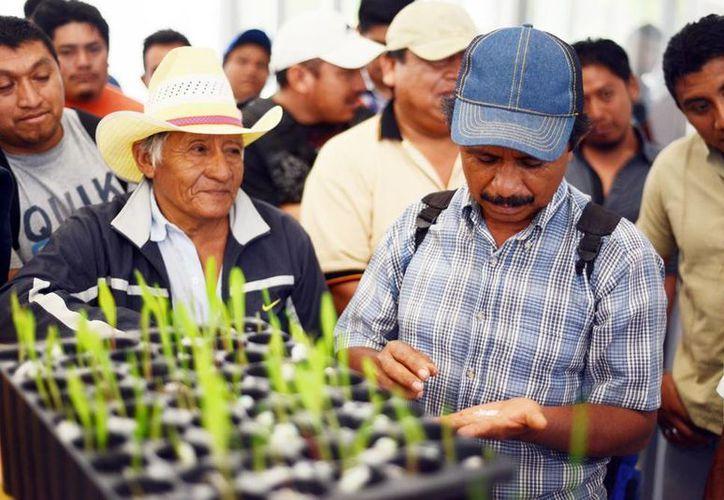 Los campesinos confían en mejorar la calidad de sus cosechas. (Milenio Novedades)