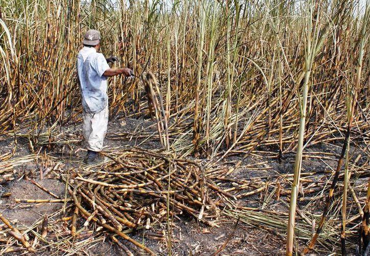 Los productores de la vara dulce reportan cero ganancias, lo que generaría una crisis en el sector cañero, advierten los dirigentes. (Edgardo Rodríguez/SIPSE)