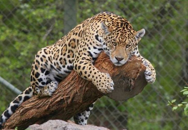 Han desaparecido entre 8 y 12 jaguares  desde la Reserva de Yum Balam  hasta Tulum. (Foto: Redacción)
