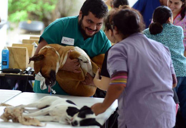 En la cruzada participarán 181 personas, de las cuales 25 son médicos veterinarios zootecnistas provenientes del extranjero y de otros estados. Imagen de la última campaña de esterilización en Mérida.(Milenio Novedades)