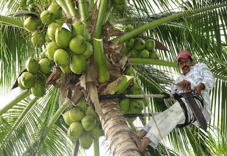 Pretenden extender las zonas de producción de la fruta tropical. (Javier Ortiz/SIPSE)