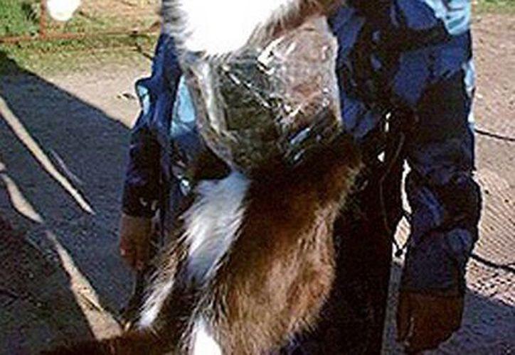 El felino llevaba dos teléfonos, baterías y sus respectivos cargadores.  (actualidad.rt.com)
