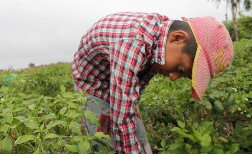 En México, más de tres millones de infantes son explotados como jornaleros en el campo. (Archivo/SIPSE)