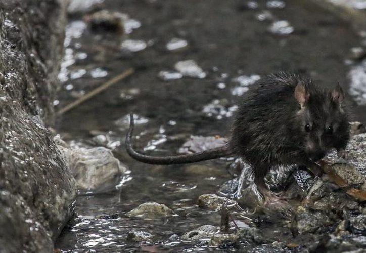 En los últimos dos años, las autoridades de Nueva York ha recibido más de 24 mil llamadas y mensajes al número 311 para denunciar la presencia de ratas. Imagen de contexto. (Archivo/EFE)