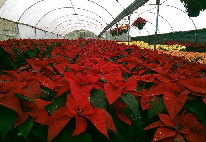 El mejor fertilizante para las plantas de Nochebuena tiene que ser orgánico, obteniendo así el mejor suelo para la planta. (Archivo/Notimex)