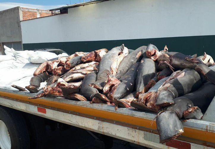 Una línea de investigación que se sigue, es que el vehículo en que eran transportados los tiburones fue asaltado en el tramo carretero La Piedad-La Barca. (Proceso)