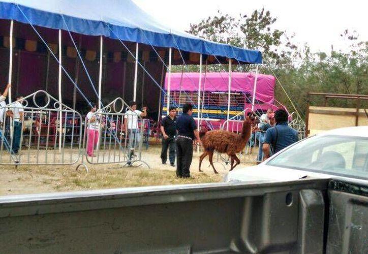 De nuevo la Profepa decomisó animales al 'Harley Circus', ahora cuando estaba instalado en Baca, Yucatán. (SIPSE)