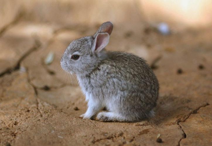 """El teporingo también es conocido como zacatuche, que viene del nahuatl zacatl (zacate) y tochtli que significa conejo, """"El conejo de los zacatonales"""". (Foto: Contexto)"""
