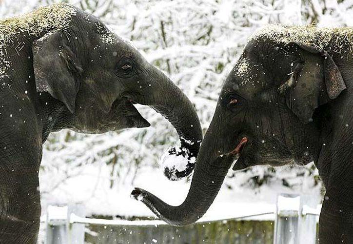 Un veterinario dijo que solamente las puntas de las orejas de los animales estaban congeladas. (Archivo/EFE)