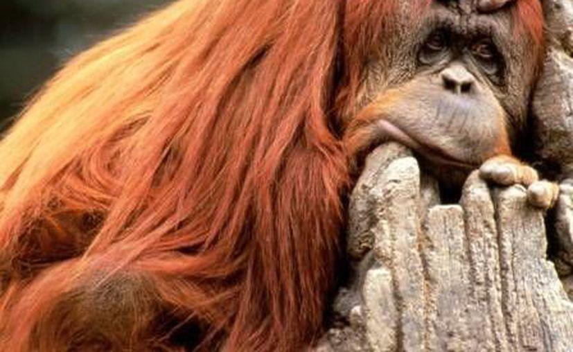 La mujer de 27 años lesionada por un orangután en Chapultepec fue hospitalizada. (orangutanpedia.com)