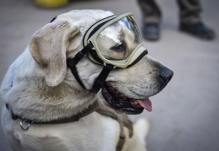 En la red social se ha homenajeado a esta perrita de ocho años y de raza labrador. (Foto: Contexto/ Tribunanoticias)