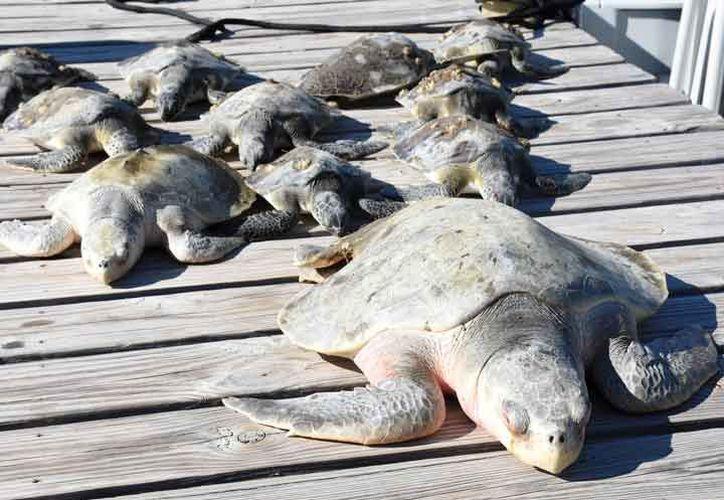 Unas 850 tortugas fueron rescatadas en Florida. (Excélsior)
