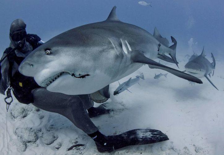 El Manual de Buenas Prácticas para bucear con el tiburón toro sigue en revisión. (Cortesía/Phantom divers)