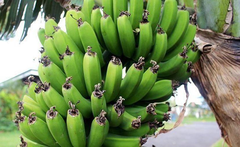El plátano verde tiene bajo impacto en la respuesta glucémica. (Novedades Yucatán)