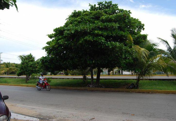 Los árboles como el almendro, la casuarina o el flamboyán, que se consideran especies exóticas, provocan daños a la infraestructura. (Tomás Álvarez/SIPSE)