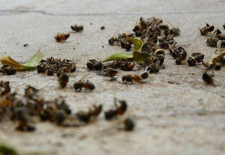 La muerte de las abejas meliponas en la zona maya de la Península de Yucatán será llevada a la pantalla grande. (Redacción/SIPSE)