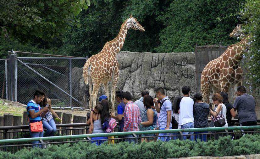 Autoridades aseguran que se destinó un presupuesto de 90 mdp para el mantenimiento de los zoológicos de Chapultepec, Los Coyotes y San Juan de Aragón. (Archivo/Notimex)