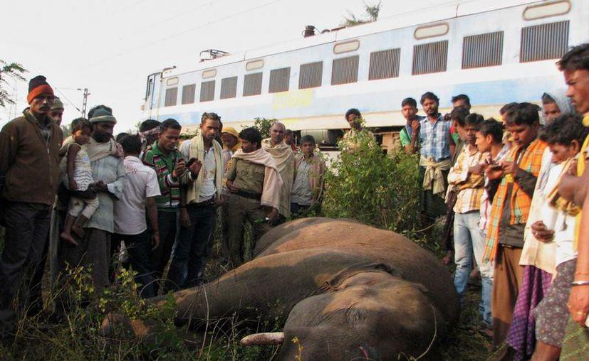 Decenas de ejemplares han sido arrollados por los trenes. (Agencias)