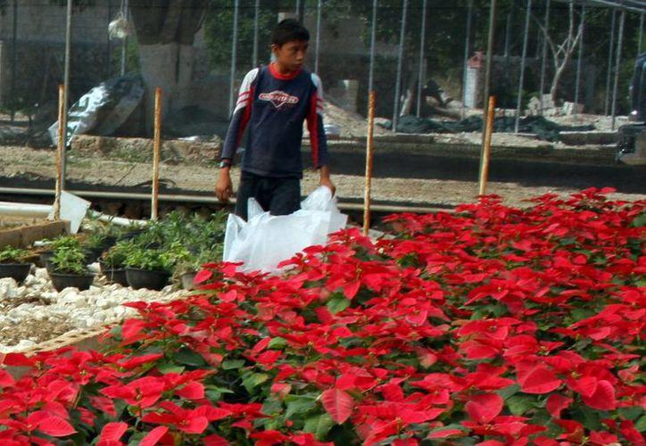 Las  plantas vivas de Nochebuena estimula la economía rural de las comunidades productoras, ya que es una actividad que requiere de entre siete y 10 trabajadores por hectárea. Imagen de un vivero de esta planta. (Milenio Novedades)
