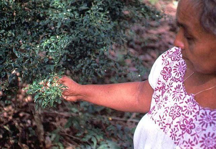 Yucatán tiene gran variedad de plantas medicinales. (bibliotecadigital.ilce.edu.mx)