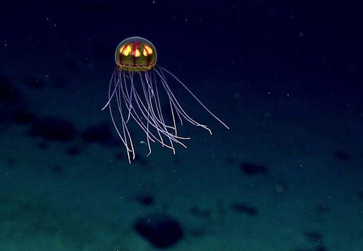 Una medusa bioluminescente durante una exploración de aguas profundas en la Fosa de las Marianas en el Océano Pacífico, cerca de Guam y Saipán. (NOAA Oficina de Exploración Oceánica/The Associated Press)