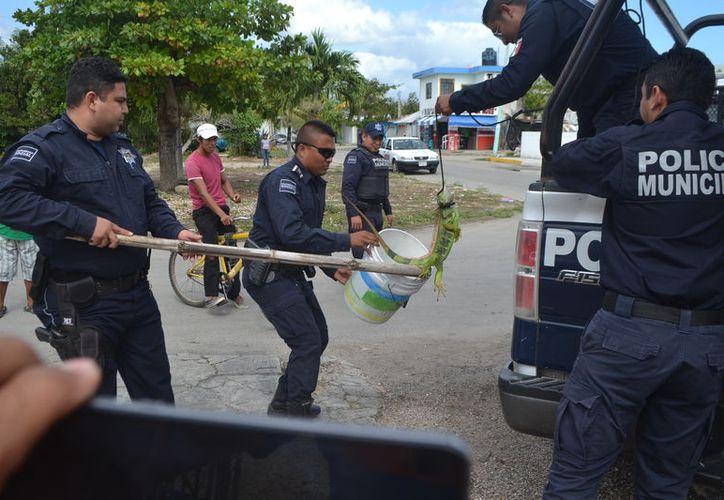 Más de doce oficiales ayudaron en las labores de rescate de la iguana. (Foto: Redacción/SIPSE)