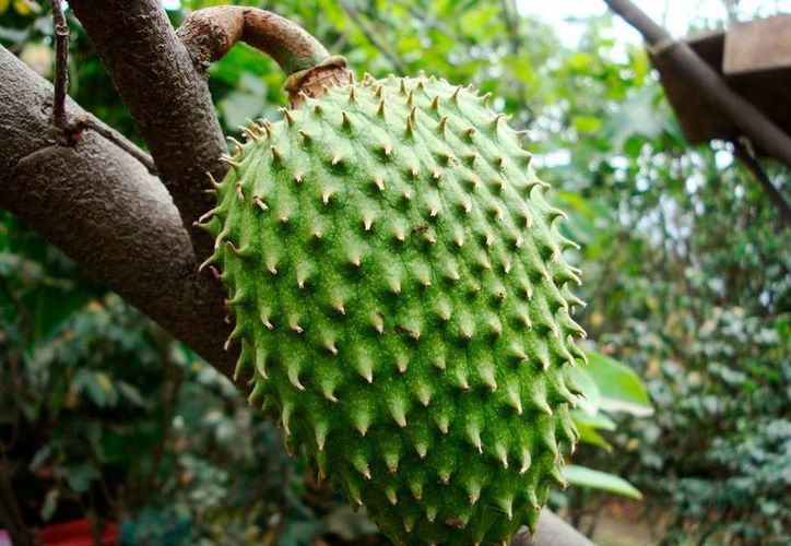 La guanábana, una fruta que se da con 'facilidad' en Yucatán, está considerada como un anticancerígeno, aunque no hay investigación científica que lo avale. (taringa.net/archivo)
