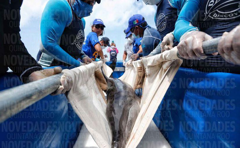 El delfín fue regresado al mar luego de un gran trabajo coordinado. (Luis Soto/SIPSE)