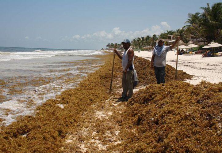 El sargazo le permite a Héctor y otros tres jornaleros tener empleo temporal para limpiar las playas. (Sara Cauich/SIPSE)