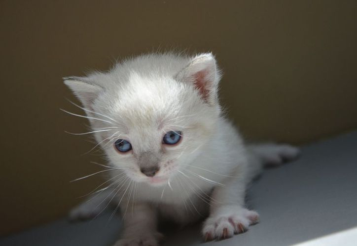 El gatito afectado sufrió fractura de una de las patas y daños internos. (Foto: Contexto)