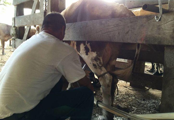 Desde hace años no se invierte en infraestructura para ranchos lecheros y compra de ordeñadoras. (Edgardo Rodríguez/SIPSE)