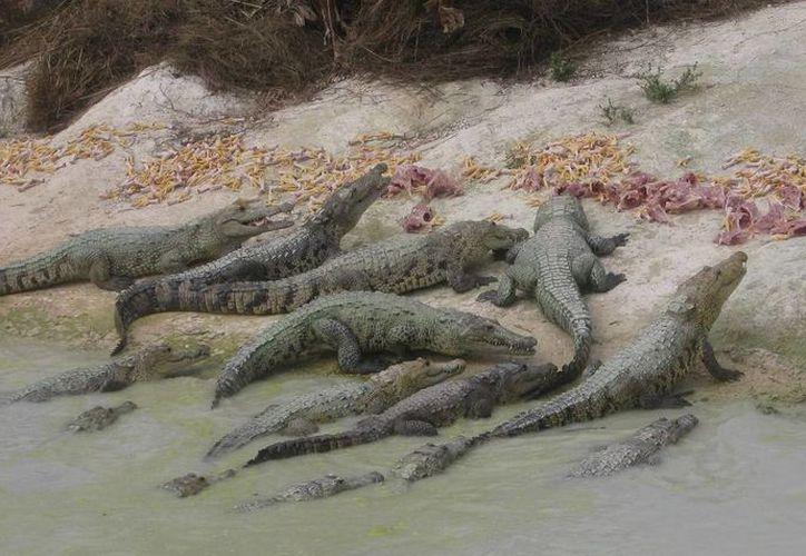 Contemplan ocho ejemplares de cocodrilos para iniciar con el proyecto. (Foto: Javier Ortiz/SIPSE)