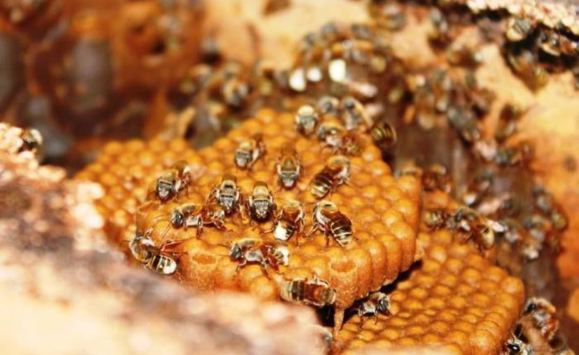 Más de la mitad de la miel mexicana es producida en la Península de Yucatán. (Archivo/SIPSE)