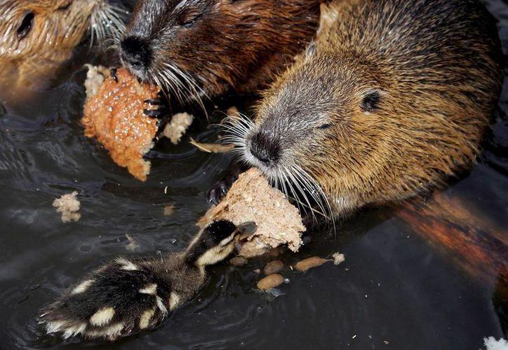 En la imagen de archivo, un pato comparte su pan con un castor. (EFE)