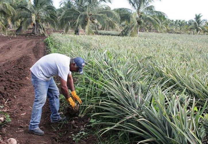 Los productores de caña buscan mantener su modus vivendi con el cultivo de piña, la cual ha dado buenos resultados. (Edgardo Rodríguez/SIPSE)