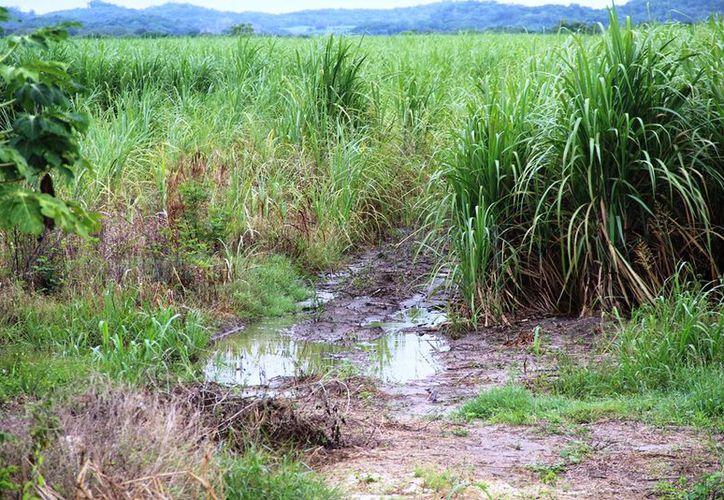 Por altos volúmenes de agua, no existe posibilidad de sacar la cosecha. (Carlos Castillo/SIPSE)