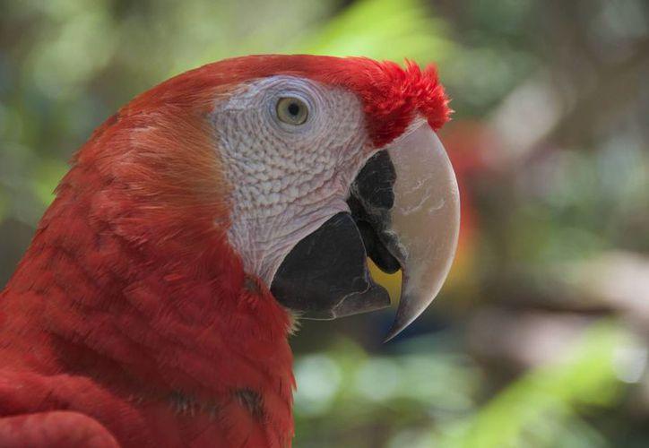 La guacamaya roja está en peligro de extinción. (Israel Leal/SIPSE)