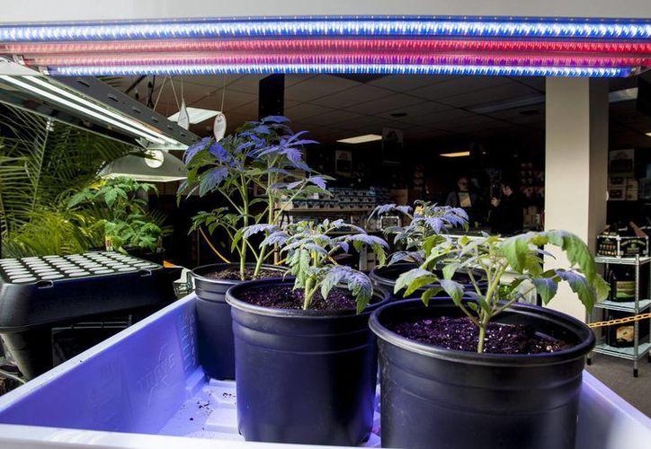 El estado de Washington podrá tener como máximo 334 tiendas expendedoras de marihuana. (EFE)