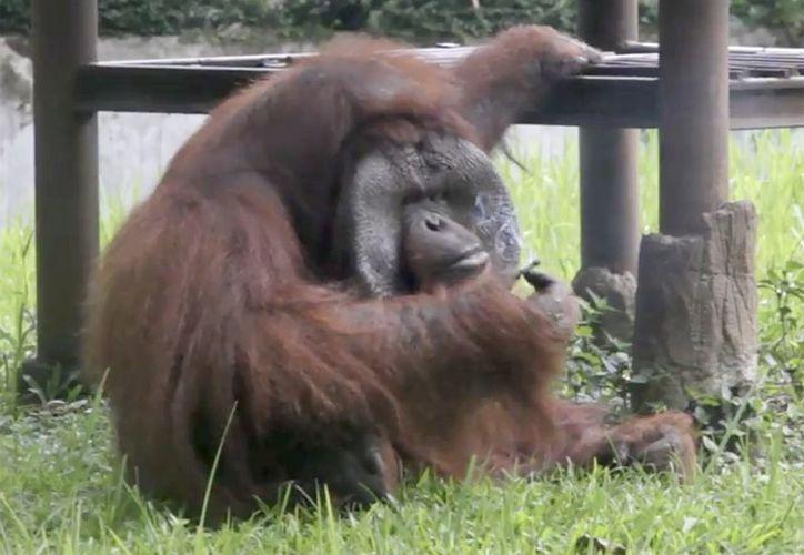 Un visitante al zoológico le aventó un cigarrillo al orangután, que lo tomó y comenzó a fumar. (Foto: Captura video)