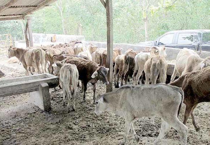 El número máximo a apoyar será para la adquisición de 30 cabezas de ganado bovino y 100 de ovino. (Edgardo Rodríguez/SIPSE)
