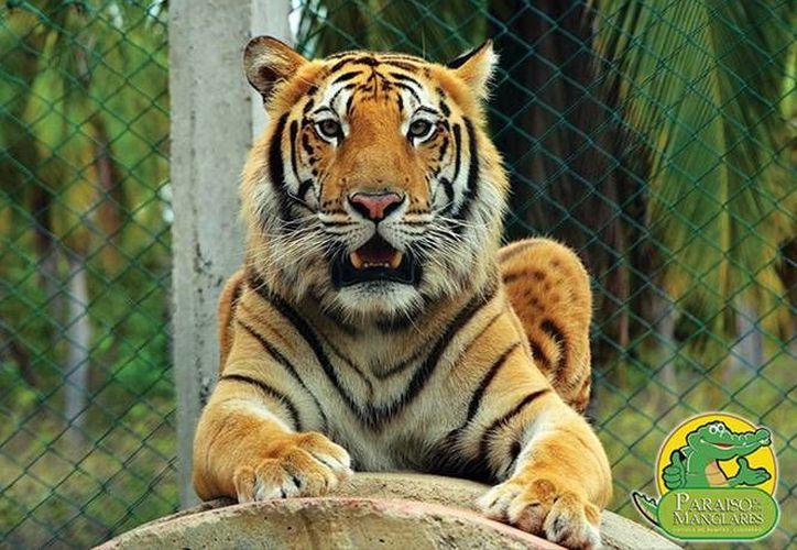 El tigre escapó de la unidad de conservación Paraíso de los Manglares y las autoridades no han podido ubicarlo. (Excélsior/Paraíso de los Manglares)