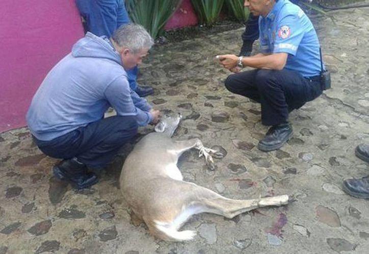 Un veterinario voluntario ayudó a estabilizar al animal que sangraba de sus patas y hocico. (Enrique Vázquez/Milenio)