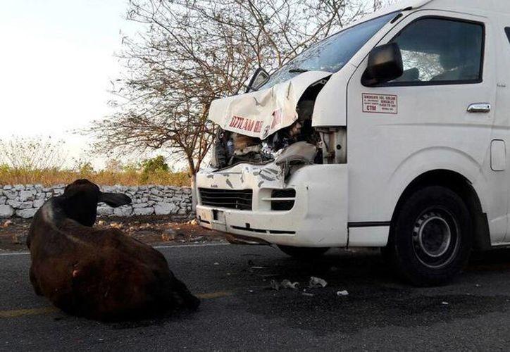 Una vaca que trataba de cruzar la carretera a la salida de Dzidzantún fue atropellada, pues el chofer no puedo hacer nada para evitar el percance. Ninguna persona resultó herida. (Milenio Novedades)