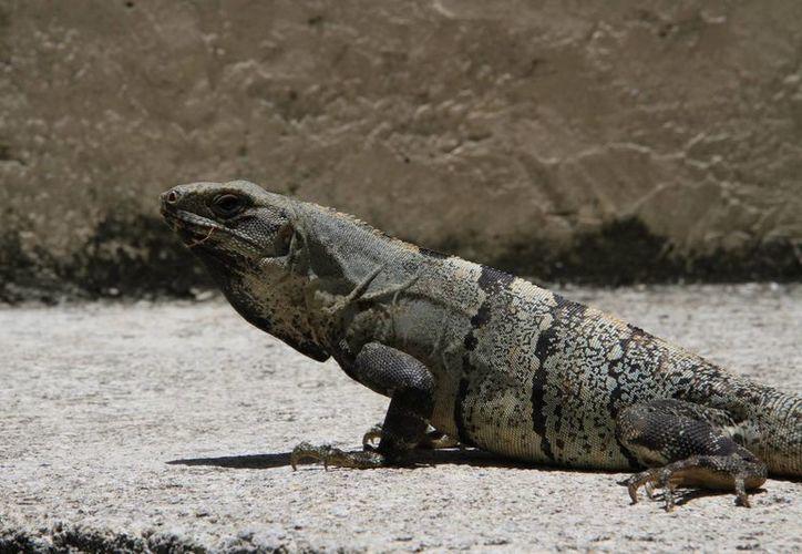 El Instituto Nacional de Ecología y Cambio Climático cuenta con antecedentes que indican la desaparición veloz de las iguanas. (Tomás Álvarez/SIPSE)