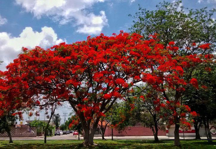 Los flamboyanes (foto) y los almendros son los árboles que más se han caído en la ciudad porque no fueron plantados como se debía. El Ayuntamiento pretende talar 400 mil árboles en la ciudad. (Eduardo Vargas/SIPSE-Archivo)