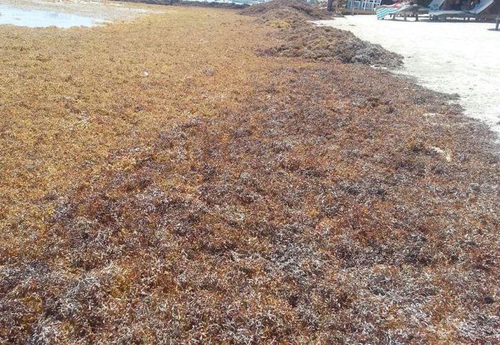 No sólo es sacarlo, se necesita saber qué es lo que provoca el aumento de la llegada del alga. (Joel Zamora/SIPSE)
